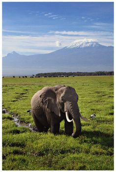 "Go on Safari in Tanzania and climb Kilimanjaro. Sing Toto, ""I miss the rains down in Africa"" at the top of my lungs when I reach the summit. Wild Life, Beautiful Creatures, Animals Beautiful, Cute Animals, Beautiful Scenery, Wild Animals, Tanzania, Elephas Maximus, Nature Sauvage"