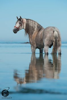 Dapple grey horse in the ocean.