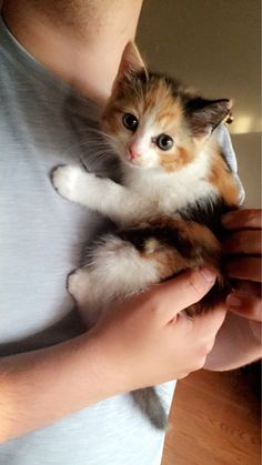 Adorable little Calico Kitten Cute Cats And Kittens, I Love Cats, Kittens Cutest, Baby Cats, Ragdoll Kittens, Funny Kittens, Bengal Cats, Pretty Cats, Beautiful Cats