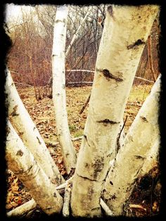 Stand of birch - early Spring in New England, Lexington, MA [Photo by C. Gates]
