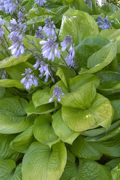 """Sum & Substance Hosta - Monrovia - Sum & Substance Hosta The largest and most popular of the hostas - 30"""" tall by 4' wide - planted in front of air conditioner and in front of water box outside east side of house"""