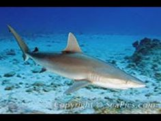 Blacknose shark underwater pictures and facts about this small, inshore, requiem shark. It is from the shark family Carcharhinidae and is viviparous Shark Images, Shark Pictures, Shark Photos, Blue Shark, Small Shark, Species Of Sharks, Shark Jaws, Sharks
