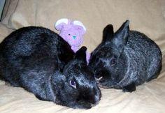 Elvira and Zorro is an adoptable Silver Marten Rabbit in Portland, OR. We are a bonded husbun and wife...Elvira is solid black and Zorro is black with silver flecks in his fur. Our life has been rough...