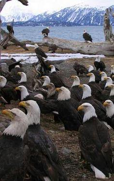 Eagle Orgy...Homer, Alaska.