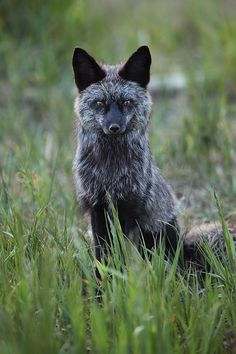 """Silver Vixen""    Red Foxes ( Vulpes vulpes ) ( Silver Phase ) - Silverthorne, Colorado    http://www.natezeman.com/photo/silver-vixen/#"