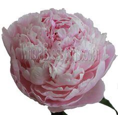 Light Pink Peony Wholesale Flowers - 20 for $169.99, 30 for $219.99, 60 for $439.99, 100 for $669.99