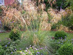 Stipa Gigantea or Giant Feather Grass, Golden Oats Grass Image 1