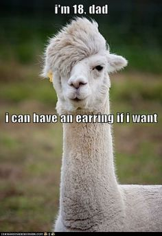 Even llamas have teenage angst.