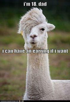 Even llamas have teenage angst.