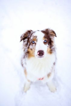 Red Merle Australian Shepherd...........click here to find out more http://googydog.com