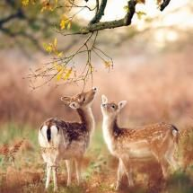 Curious Fawns in the morning light