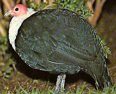 White Breasted Guinea Fowl (Agelastes Meleagrides) Sunday Inspiration, Guinea Fowl, Grouse, Partridge, Quail, Breast, Birds, Poultry Farming, Animals