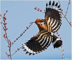 the Hoopoe's beautiful wings