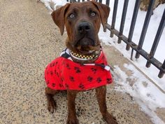 Manhattan Center LONDON - A1028932 FEMALE, BR BRINDLE / BL BRINDLE, PIT BULL MIX, 10 mos STRAY - STRAY WAIT, HOLD FOR LOST&FOUND Reason STRAY Intake condition EXAM REQ Intake Date 02/26/2015 https://www.facebook.com/photo.php?fbid=971565446189668