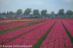 Lisse, Netherlands Springtime 2014 ©KarolaGrunenbaum