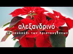 Συμβουλές φροντίδας για το αλεξανδρινό, το φυτό σύμβολο των Χριστουγέννων, για έντονο κόκκινο χρώμα και για να το διατηρήσουμε και τη νέα χρονιά. Garden Works, How To Plan, Gardening, Tips, Flowers, Plants, Lawn And Garden, Plant, Royal Icing Flowers