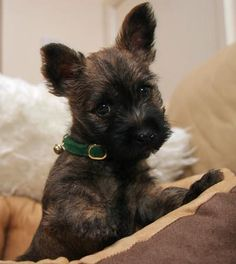 Cairn Terrier... all my babies are Cairns, best dog ever.