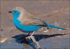 Blue waxbill, KwaZulu-Natal, South Africa.
