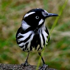 Sv Vitögd honungsfågel. New Holland Honey Eater
