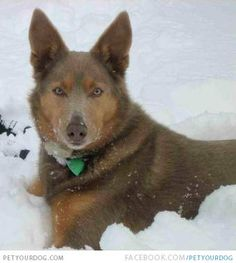 Brown American Indian Dog in the Snow