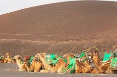 Traveling in Lanzarote - Timanfaya National Park's camels Camels, Canary Islands, National Parks, Traveling, Animals, Lanzarote, Viajes, Animales, Animaux