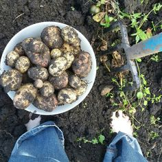 Harvesting potatoes in Stirling Scotland | Riotflower's Realm
