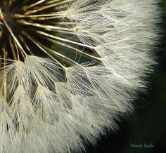 Dandelion by Pamela Beale on 500px
