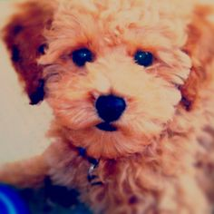i *will* own a red toy poodle someday.