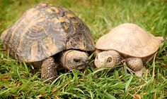"""Plastic Girlfriend - Timmy, a Hermann's tortoise (Testudo hermanni), appears to dote on Tanya night and day since the pair were brought together by keepers at the sanctuary where he lives after he was """"bullied"""" by other real tortoises.  The sprightly 60-year-old fetches her food (and does not seem to mind that she does not eat it) and nuzzles his head against hers. He will not go to bed unless she is put into his hut before him."""