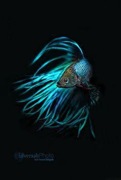 betta azul