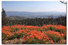 51ea75305e3 Desert Wildflower report Southern California by DesertUSA Good Times