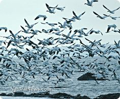 Flock-Of-Birds-Ocean-Fly