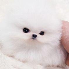 Teacup Pomeranian #pomeranian4sale #whitepomeranian #expensivedogs $6800 #posh #pocketpups www.poshpocketpups.com