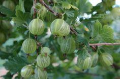 Kruisbes = Ribes uva-crispa, ook stekebes of stekelbes, klapbes of knoeper genoemd. Bloeit april en geeft juli-aug vruchten die zo eetbaar zijn maar ook verwerkt kunnen worden tot jam of in taart.