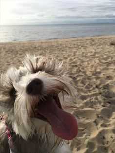 Tinker Belle loves the beach! Happy Schnauzer