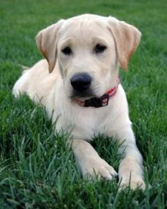 Yellow Lab...looks like my Delilah