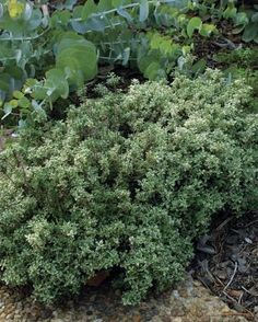 Thyme A Portrait Of A Perennial Herb Traditional Stew