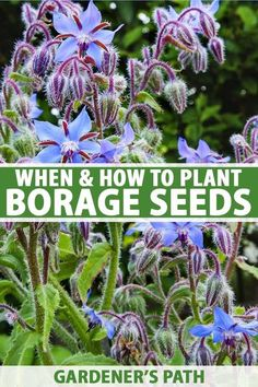 Borage is an easy to grow herb with tasty leaves and pretty, edible blossoms that attract a variety of pollinators. Fortunately, it's easy to start from seed, if you keep a few points in mind. Learn how and when to plant borage seeds to enjoy this herb in your landscape now on Gardener's Path. #borage #herbs #gardenerspath
