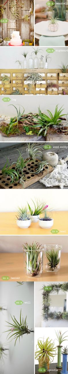 decorating with air plants