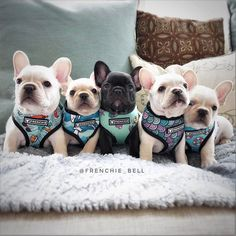 """3,618 Likes, 86 Comments - Bell's Beauties FrenchBulldogs (@frenchie_bell) on Instagram: """"New harness patterns available today @frenchie_bulldog use FRENCHIEBELL For a 10% discount off…"""""""