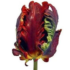 FiftyFlowers.com - Roccoco Novelty Dark Red Tulip.  I want to grow this in my yard.