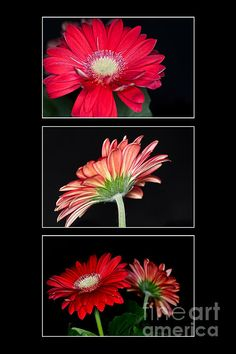 New print available on fineartamerica.com! - 'Red Gerbera Triptych' by Steve Purnell - http://fineartamerica.com/featured/red-gerbera-triptych-steve-purnell.html via @fineartamerica