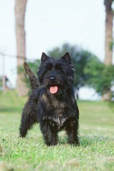 """Cairn-Terrier"" by Redsflame - Own work. Licensed under CC BY-SA 3.0 via Wikimedia Commons - http://commons.wikimedia.org/wiki/File:Cairn-Terrier.jpg#/media/File:Cairn-Terrier.jpg"