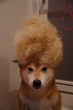 Shiba inu's Party Hairdo - Brush your dog well and you can also create this fashionable style.