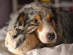 Tigger the Australian Shepherd with Bunny friend Niki.
