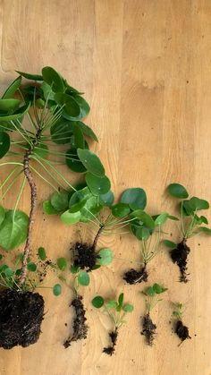 Indoor Garden, Garden Plants, Indoor House Plants, Big House Plants, Chinese Money Plant, Chinese Plants, Household Plants, Deco Nature, Pot Jardin