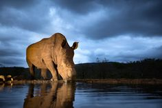 A white rhino drinks from a watering hole in this National Geographic Your Shot Photo of the Day.