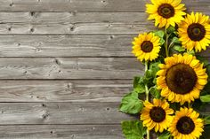 Imagens semelhantes a 156798432 sunflowers on wooden board Photo Backgrounds, Wallpaper Backgrounds, Wallpapers, Sunflower Facts, Sunflowers Background, Facebook Cover Images, Background Powerpoint, Edible Oil, Sunflower Wallpaper