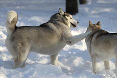 Siberian Huskies playing in the snow.