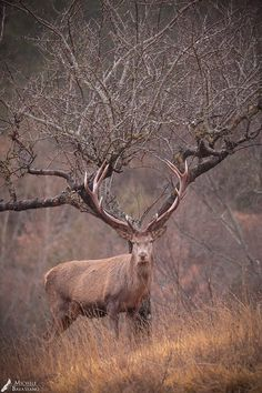 Soulstice. Tree Guardian. Red Deer (Cervus elaphus). Photo: 500px.com/michelebavassano